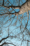 Sinuous branches of the trees against the blue sky, bottom view Royalty Free Stock Photos