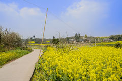 Sinuous countryroad in flowering cole field on sunny spring day Royalty Free Stock Image