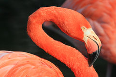 Sinuous neck of flamingo Royalty Free Stock Image