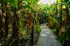 Sinuous planked footpath in Chinese banana trees of sunny summer Royalty Free Stock Photography