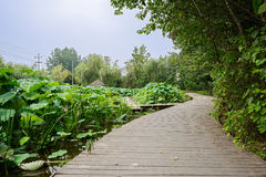 Sinuous planked path around lotus pond in cloudy summer Stock Image