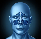 Sinus cavity on a human head Royalty Free Stock Photography