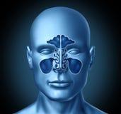 Sinus cavity on a human head. Representing a medical symbol of nasal anatomy Royalty Free Stock Photography