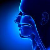 Sinus - clairs - anatomie principale illustration libre de droits