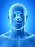 The sinuses Royalty Free Stock Photo