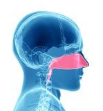 Sinuses - Breathing Royalty Free Stock Photo
