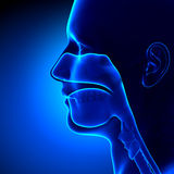 Sinuses - Clear - Head Anatomy. Illustration Royalty Free Stock Image