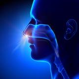 Sinuses oddychanie, Ludzka anatomia -/ Zdjęcie Stock
