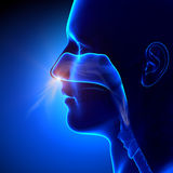 Sinussen -/Menselijke Anatomie die ademen Stock Foto