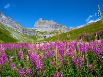 Sion Mountains. Purple flower's in the mountains in switzerland near Geneva Royalty Free Stock Images