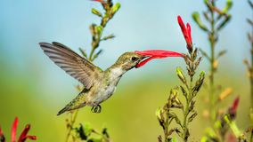 A Sip Of Energy. As all creatures need energy to survive, the Hummingbird takes its energy from nectar stock photography