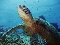 sipadan черепаха стоковая фотография rf