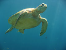 Sipadan green sea turtle underwater Royalty Free Stock Images
