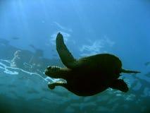 sipadan surface sköldpadda för borneo ö royaltyfria bilder