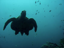 Sipadan sea turtle swimming underwater borneo Royalty Free Stock Images