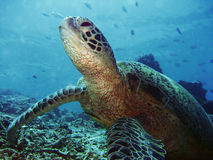 Sipadan Turtle. Green Turtle resting at the bottom in Sipadan, Borneo Royalty Free Stock Photography