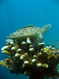 Sipadan sea turtle coral reef cleaning station Stock Photo