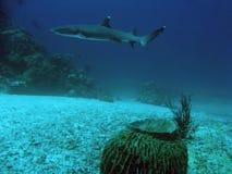Sipadan white tip reef shark underwater. White tip reef shark underwater swimming past barrel sponge sipadan in sabah malaysian borneo royalty free stock photos
