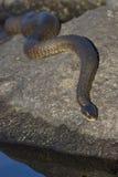 Sipedon septentrional del sipedon del Nerodia de la serpiente de agua que toma el sol en una roca fotografía de archivo