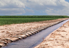 Siphon Tube Irrigated Cornfield Stock Photo