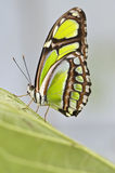 Sipoetra Stelenes - Malachietvlinder Royalty-vrije Stock Afbeeldingen