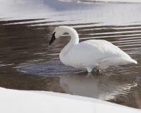 sipping вода трубача лебедя Стоковые Фотографии RF