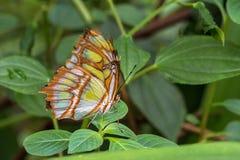 绿沸铜蝴蝶,Siproeta stelenes是一只neotropical刷子有脚的蝴蝶 免版税图库摄影
