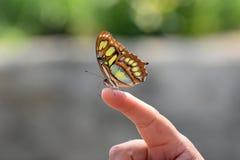 Siproeta stelens, wonderful Malachite butterfly Stock Photo