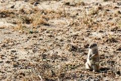 Sir de la ardilla de tierra SÍ - parque nacional de la cebra de montaña imagenes de archivo