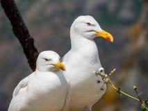 Sir & Madam seagull Fotografia Royalty Free