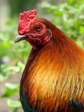 Sira de mãe à galinha Imagem de Stock Royalty Free