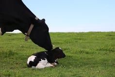 Sira de mãe ao checkingn da vaca de Holstein em sua vitela recém-nascida foto de stock
