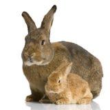 Sira de mãe ao coelho Fotografia de Stock