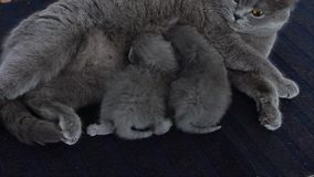 Sira de mãe ao gato que alimenta seus bebês em um tapete azul video estoque