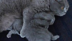 Sira de mãe ao gato que alimenta seus bebês no tapete video estoque
