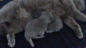 Sira de mãe ao gato que alimenta seus bebês no tapete vídeos de arquivo