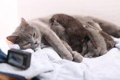 Sira de mãe ao gato que amamenta seus bebês, câmera da ação na cena Imagem de Stock Royalty Free