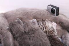 Sira de mãe ao gato que amamenta seus bebês, câmera da ação na cena Fotos de Stock