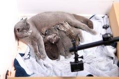 Sira de mãe ao gato que amamenta seus bebês, câmera da ação na cena Imagem de Stock