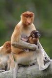 Sira de mãe ao macaco de probóscide com bebê, Kinabatangan, Sabah, Malásia imagem de stock