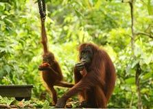 Sira de mãe ao orangotango e ao bebê na plataforma de alimentação Sepilok, Bornéu imagens de stock royalty free