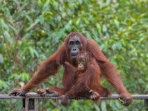 Sira de mãe ao orangotango e ao seu bebê, um adolescente que senta-se em uma plataforma de madeira na selva de Indonésia (Indonés imagem de stock