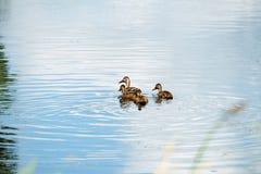 Sira de mãe ao pato do pato selvagem com os três jovens que nadam na vala Fotografia de Stock