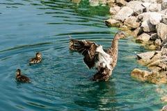 Sira de mãe ao pato que bate suas asas com três patinhos em uma lagoa com rochas Fotografia de Stock