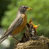 Sira de mãe ao pisco de peito vermelho e aos bebês no ninho imagens de stock royalty free