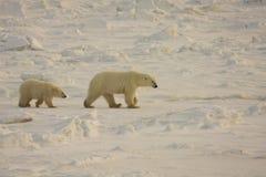 Sira de mãe ao urso polar e ao filhote no ártico Imagem de Stock