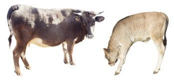 Sira de mãe aos Bovídeos da vaca e da vitela isolados no branco fotografia de stock
