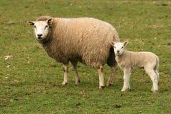 Sira de mãe aos carneiros e ao cordeiro pequeno que olham o fotografia de stock