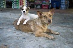 Sira de mãe e seu cachorrinho em Hoi An, Vietname Fotos de Stock Royalty Free