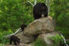 Sira de mãe ao urso preto (Ursus americano) e ao Cubs no antro da rocha Foto de Stock Royalty Free